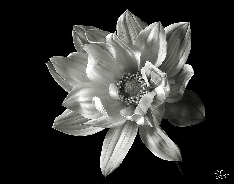 Dahlia In Black And White Photograph by Endre Balogh