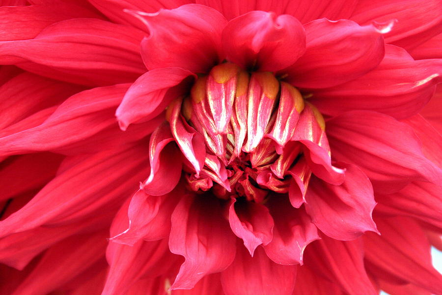 Dahlia Photograph - Dahlia In Red by Laurel Talabere