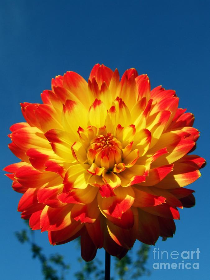 Dahlias Photograph - Dahlia procyon by Ian Gowland and Photo Researchers