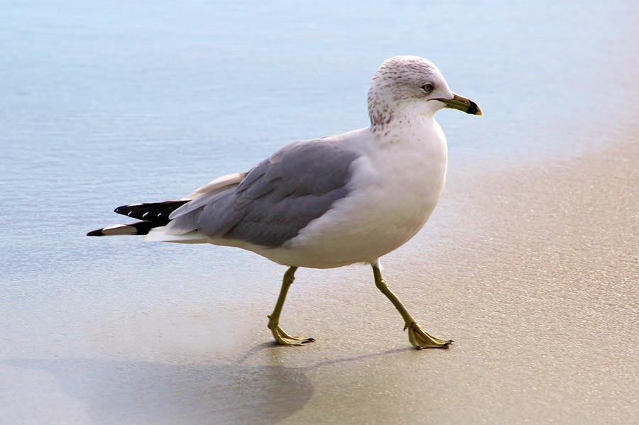 Sea Gull Photograph - Dainty Sea Gull by Paulette Thomas