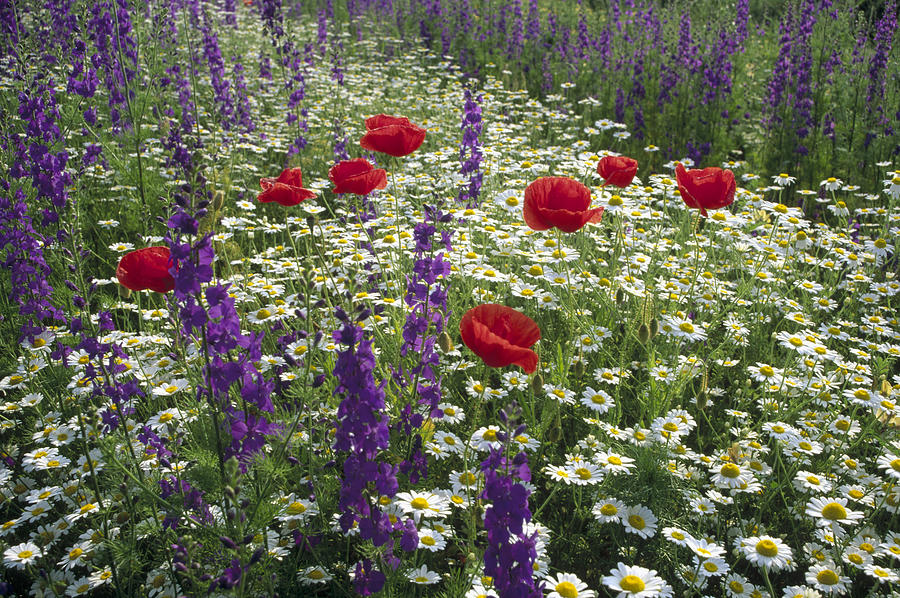 Daisies Delphinium and Poppies Photograph by Konrad Wothe