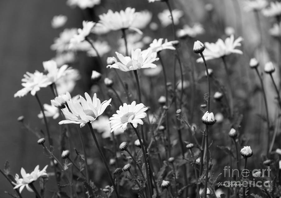 Daisies In Black Ane White Photograph By Yumi Johnson