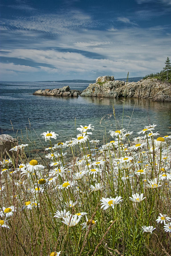https://images.fineartamerica.com/images-medium-large/daisies-on-maines-acadia-shoreline-randall-nyhof.jpg
