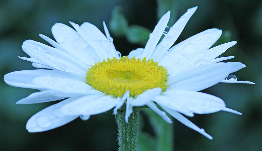Becky Photograph - Daisy After The Rain by Becky Lodes