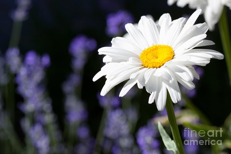 Flower Photograph - Daisy And Lavender by Cindy Singleton