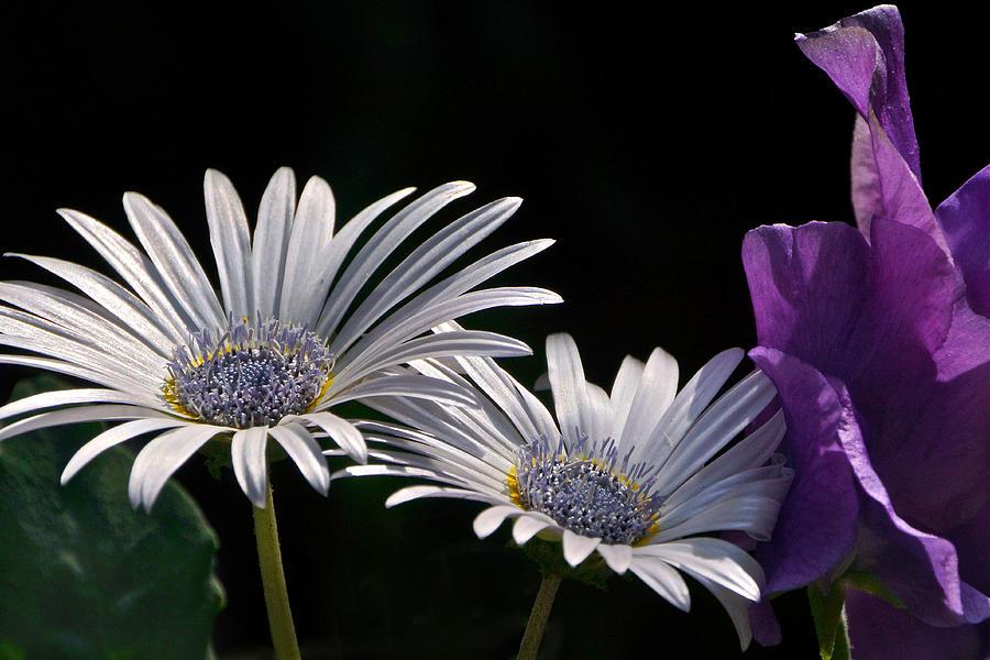 daisy-and-sweet-pea-byron-varvarigos.jpg (900×600)