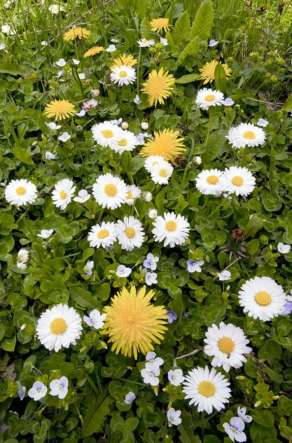 Daisy Photograph - Daisy, Dandelions And Slender Speedwell by Bob Gibbons
