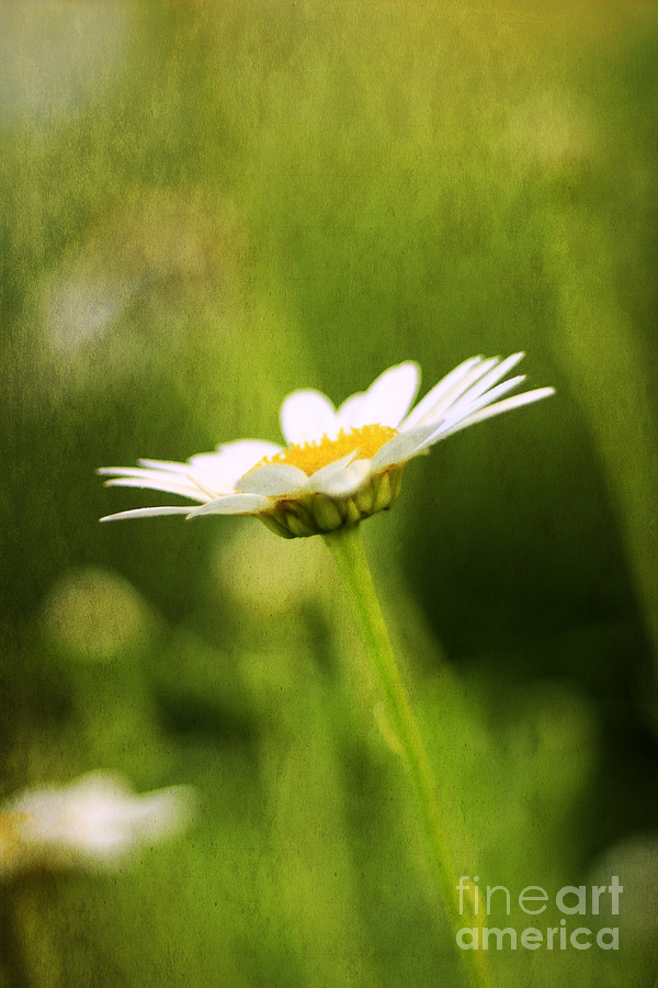 Angel Photograph - Daisy by Darren Fisher