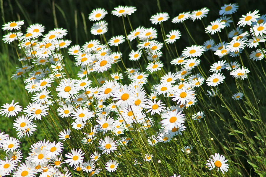 Landscape Photograph - Daisy Days by Karen Grist