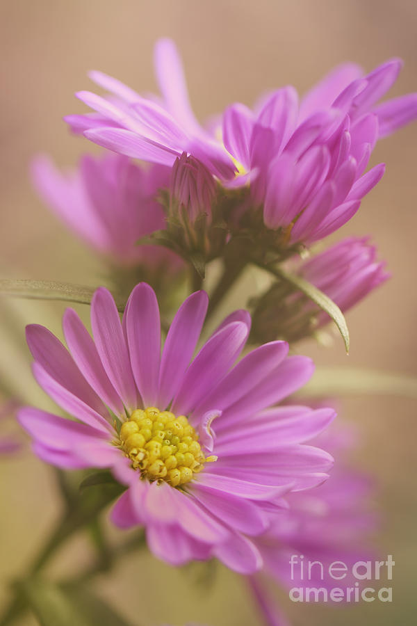 Daisy Photograph - Daisy by LHJB Photography