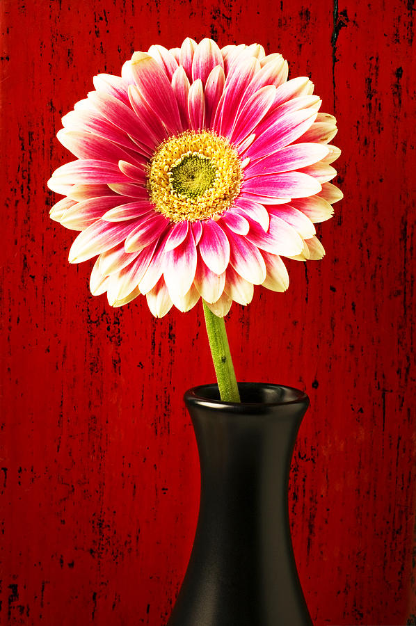 Flower Photograph - Daisy In Black Vase by Garry Gay