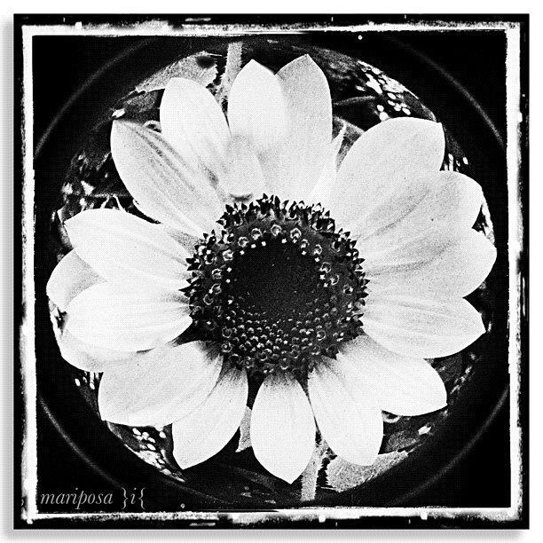 Nature Photograph - Daisy by Mari Posa