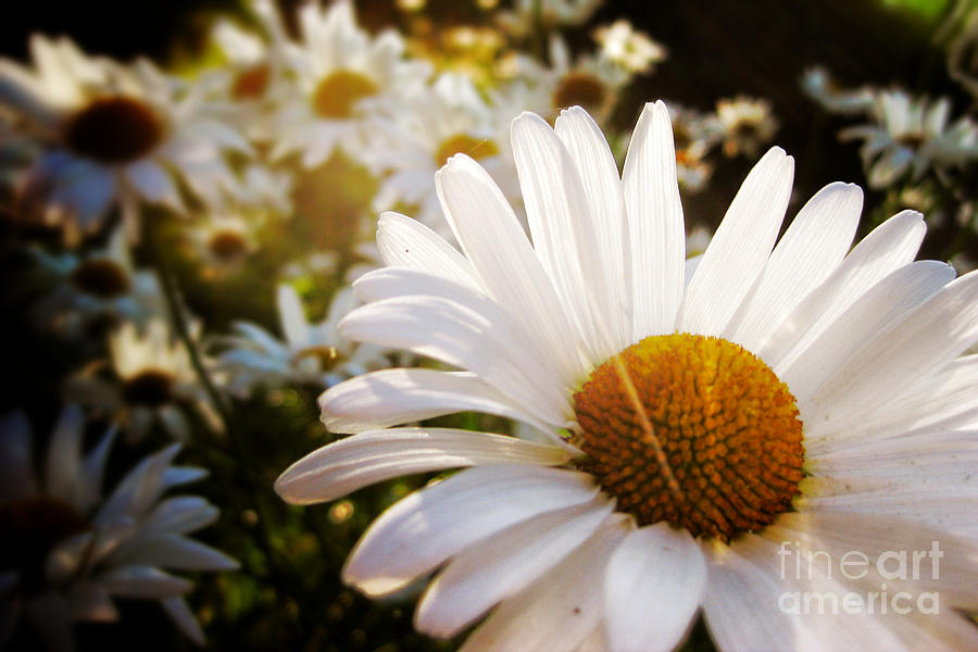 Daisy Photograph - Daisy Patch In Sunlight by Ever-Curious Photography