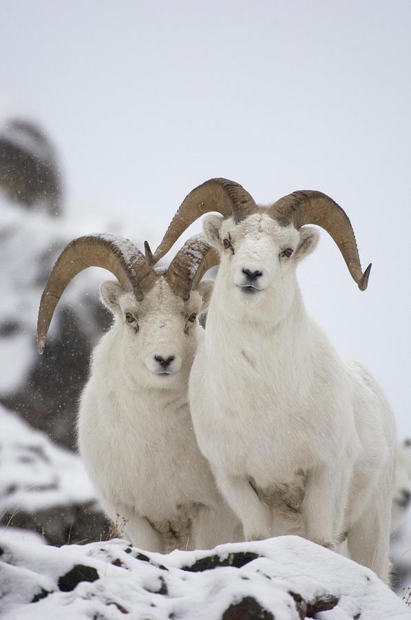 Dall Sheep Ovis Dalli Rams, Yukon Photograph by Michael Quinton