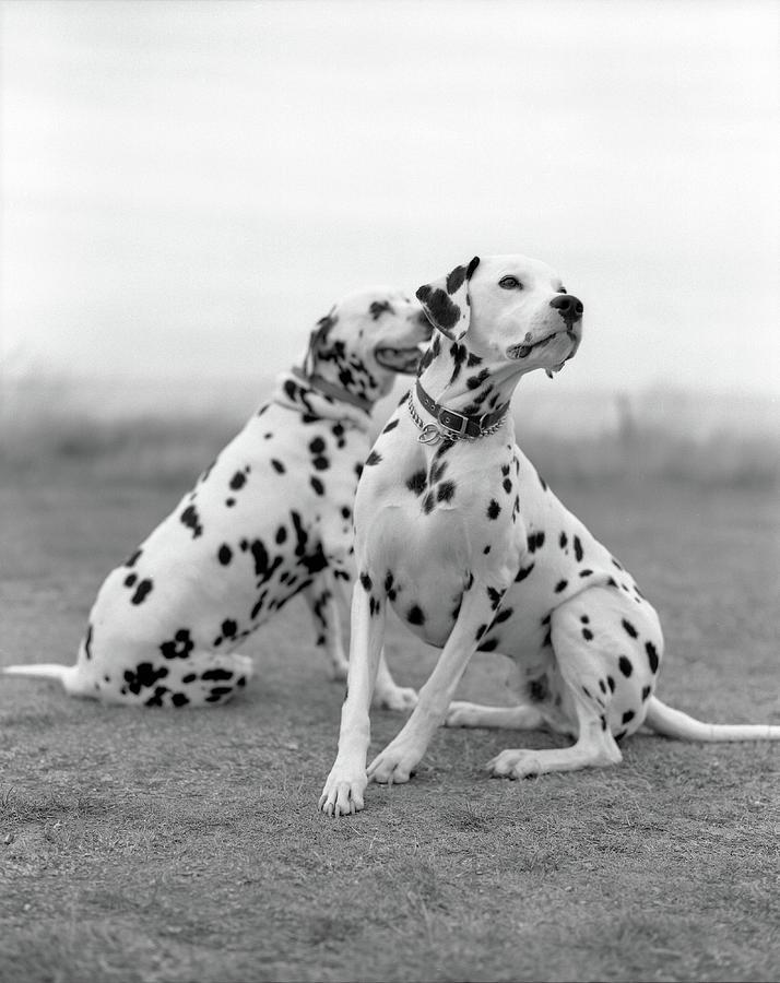 Vertical Photograph - Dalmatians by Tadas Kazakevicius Copyrigted