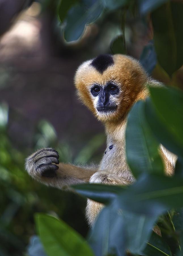 Monkey Photograph - Damn Papparazzi by Paul Svensen