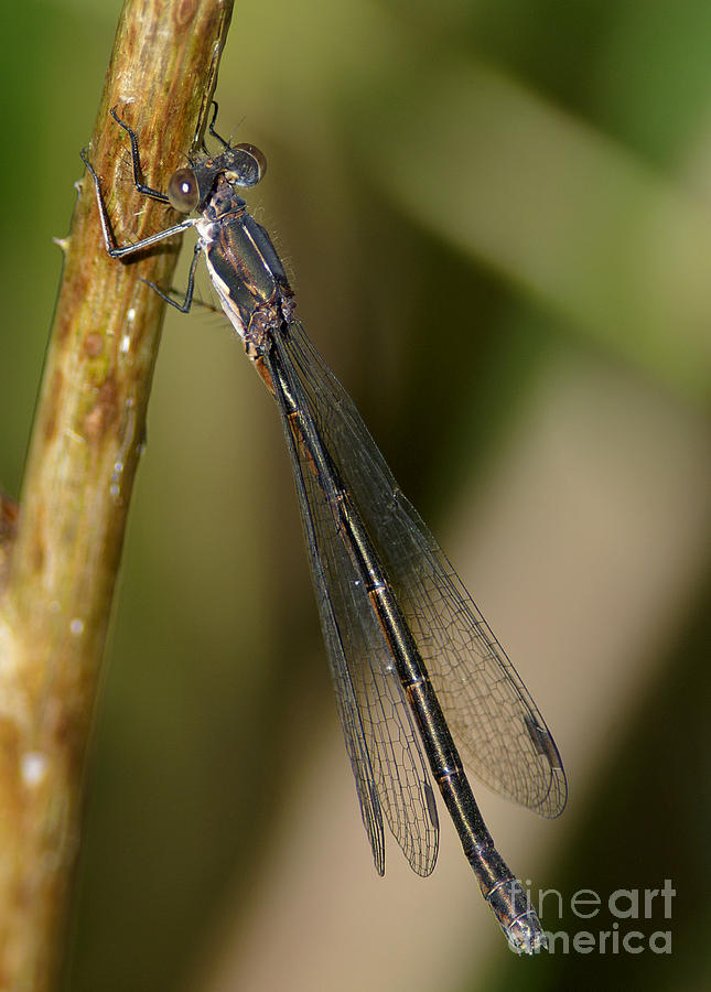 Damselfly Photograph - Damselfly by Sharon Talson