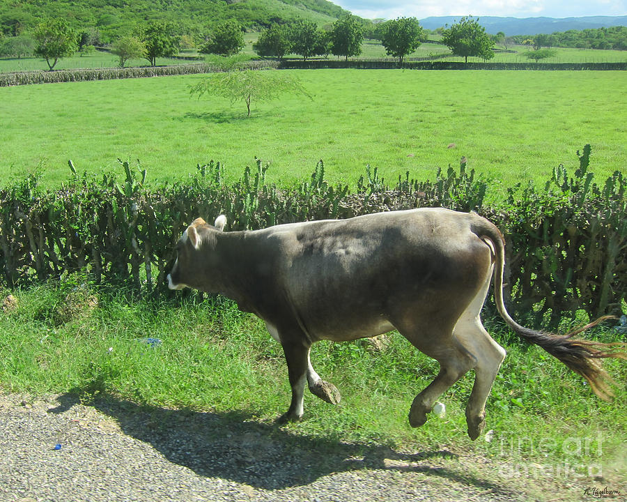 Cow Photograph - Dancing Cow by Robin Ziegelbaum
