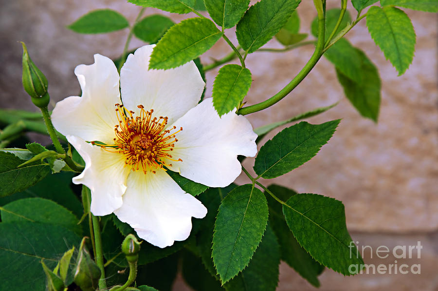 Rosa Canina Photograph - Dancing Flora by Andee Design