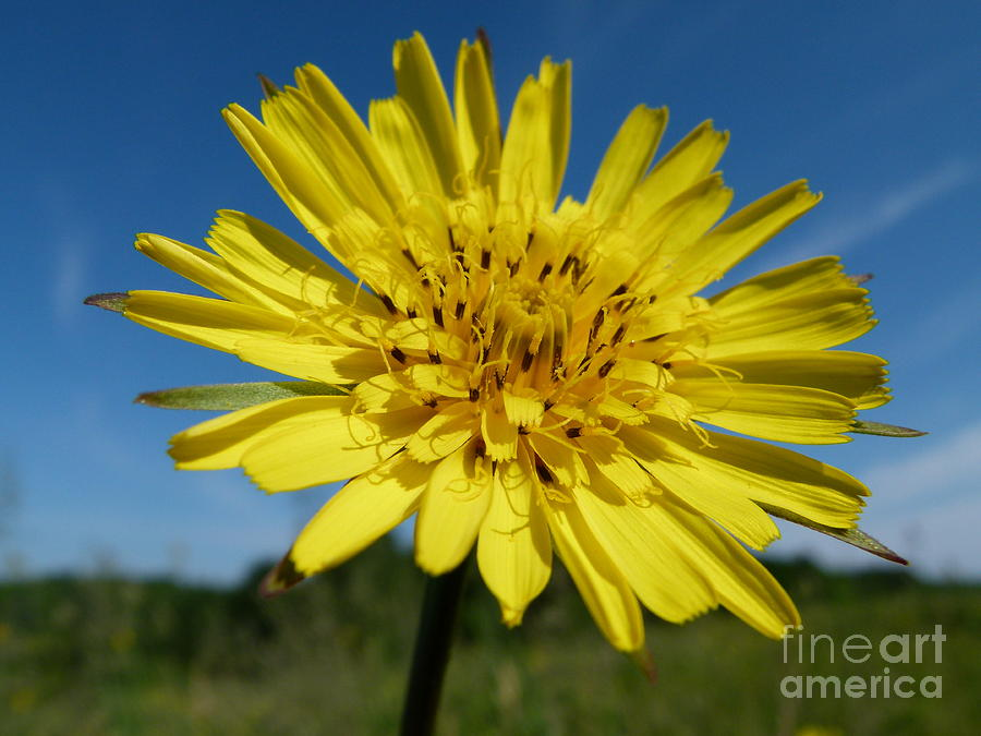 Flower Photograph - Dandelion by Christine Stack
