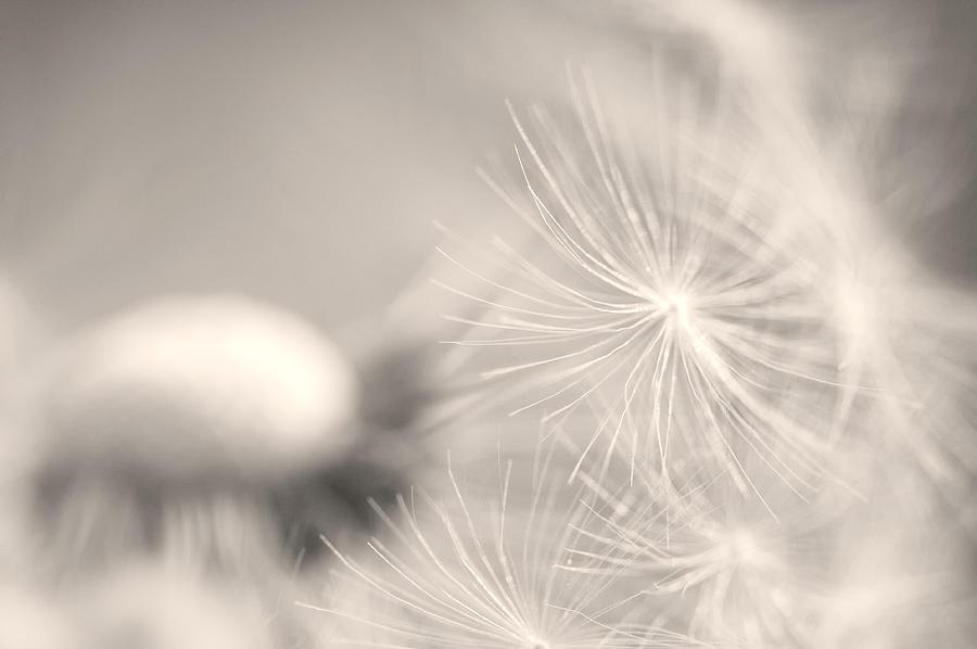 Horizontal Photograph - Dandelion Flower by Ceca Photography