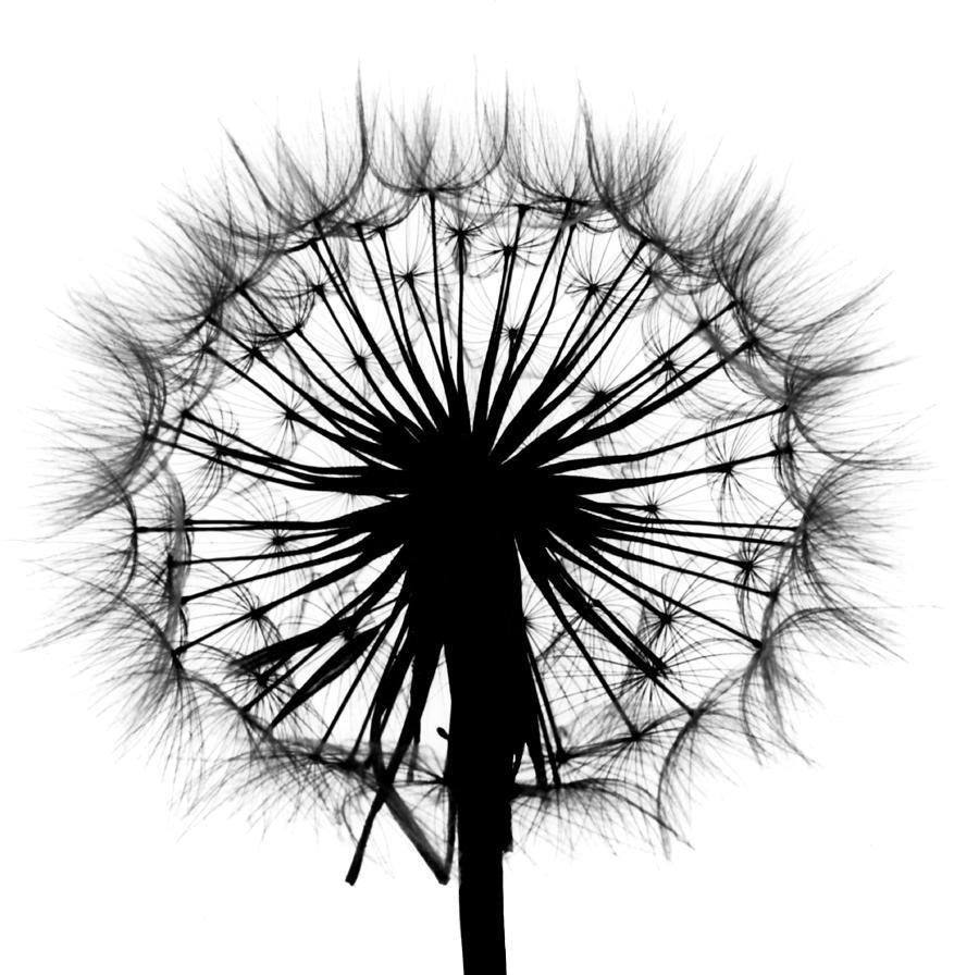 Dandelion Photograph - Dandelion by Garry McMichael