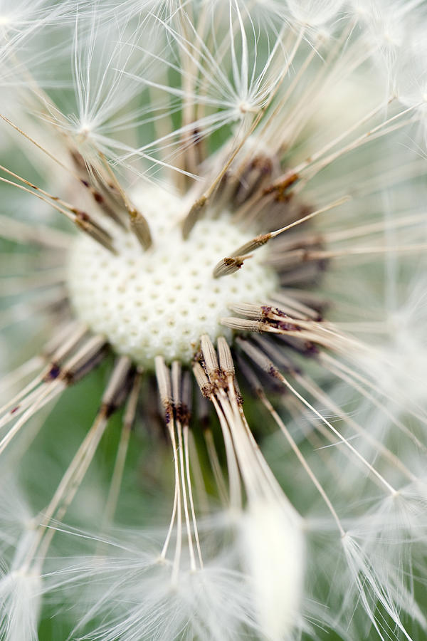 Dandelion Photograph - Dandelion Photography 4 by Falko Follert