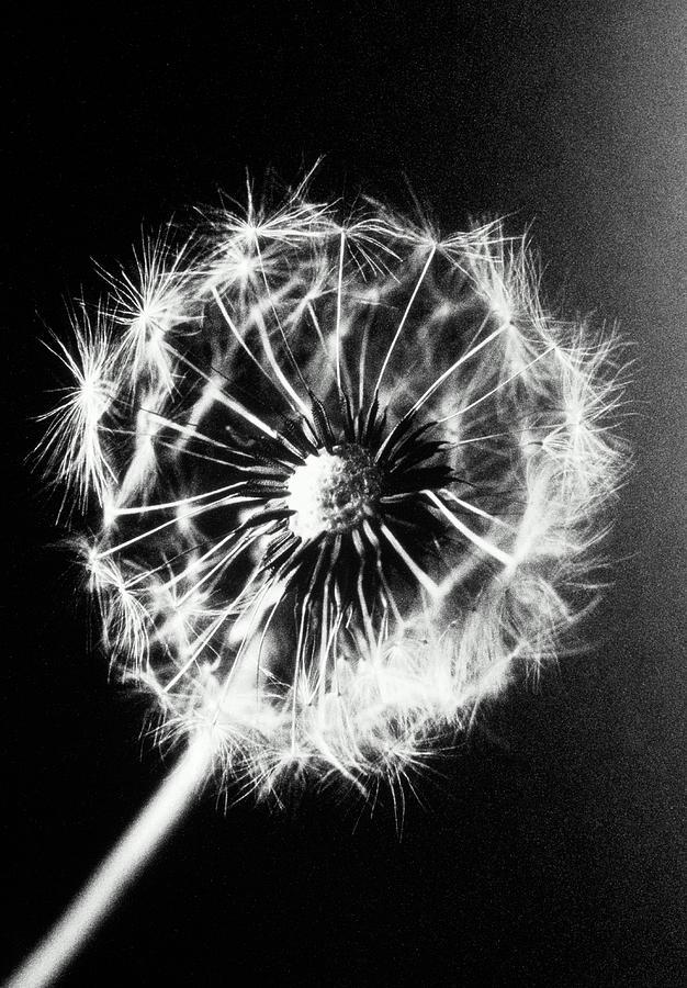 Vertical Photograph - Dandelion Seed Head (taraxacum Officinale), Close-up (b&w) by Christian Adams