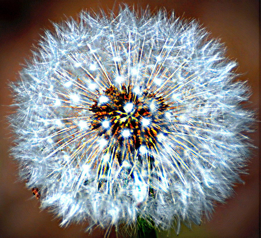 Abstract Photograph - Dandelion Seed by Marty Koch