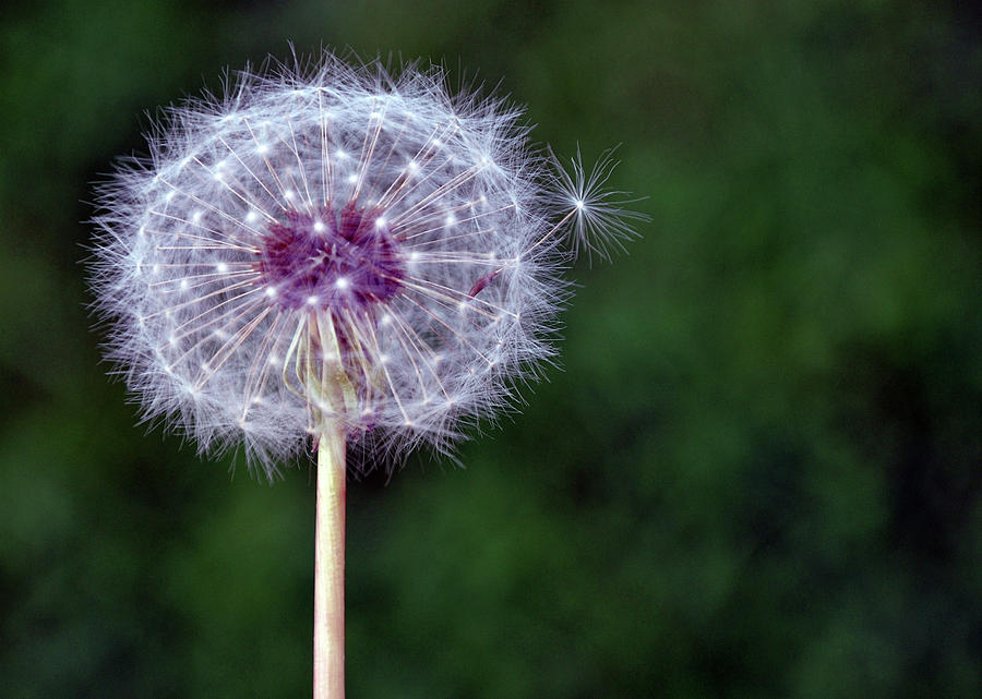Dandelion Seed Pod Photograph By D 233 Co Style Balexia87