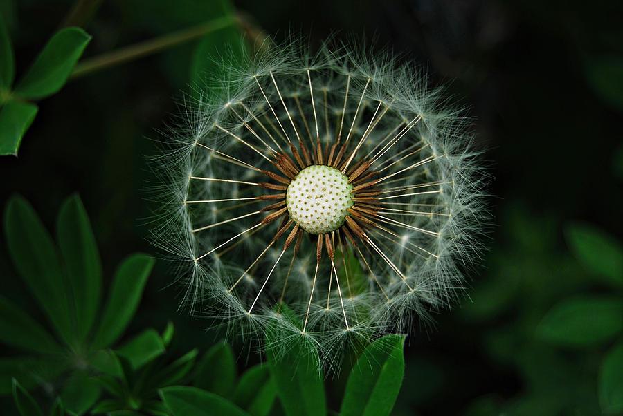 Dandelion Seeds II by Marilynne Bull