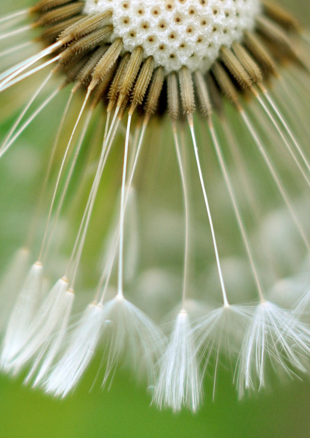 Vertical Photograph - Dandelion Seeds by Laurianne Garraud