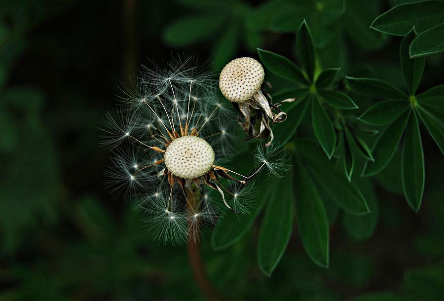 Dandelion Seeds by Marilynne Bull