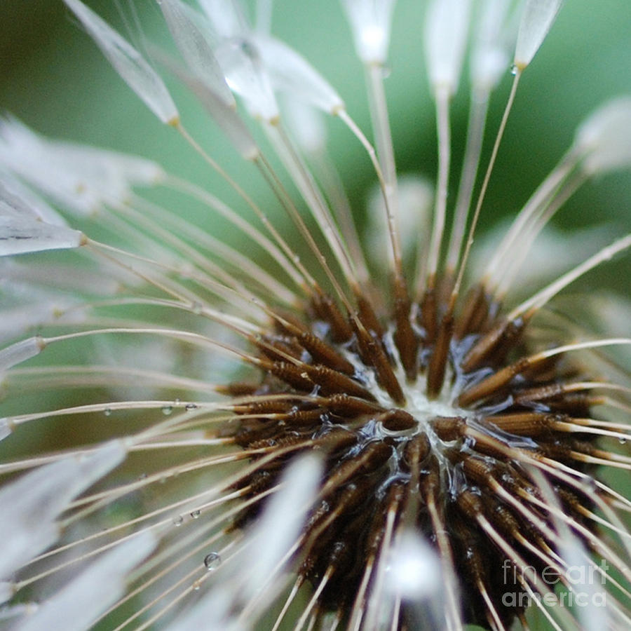 Dandelion Tears Photograph - Dandelion Tears by Paul Ward