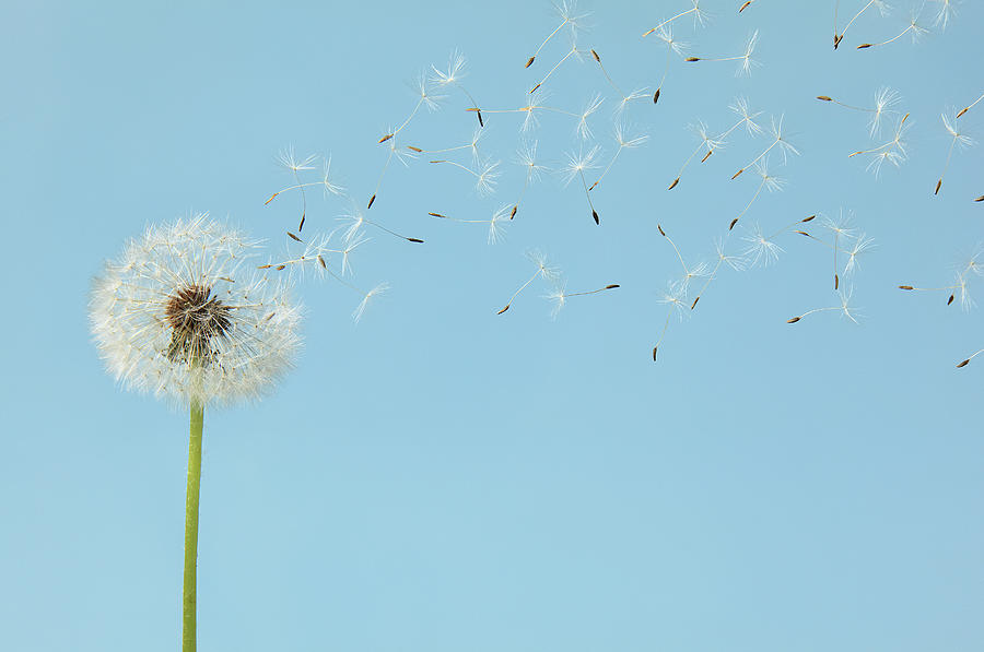 Dandelion With Flying Seeds Photograph by Chris Stein
