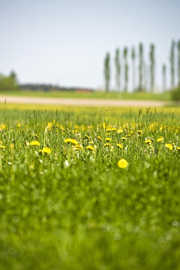 Vertical Photograph - Dandelions Growing In Meadow by Stock4b-rf