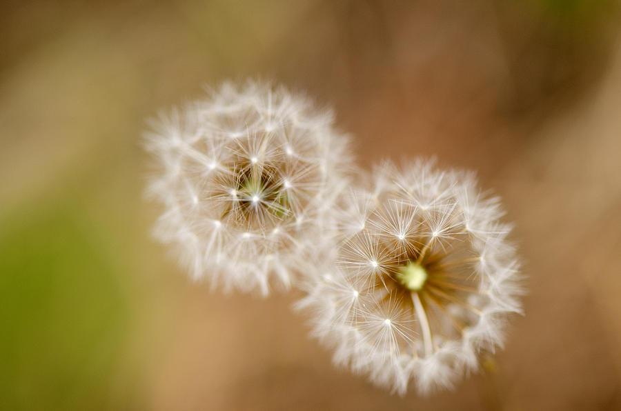 Dandelions Photograph - Dandelions by Perry Van Munster