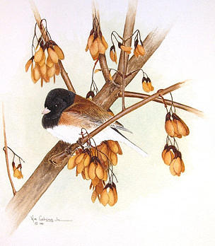 Bird Painting - Dark Eyed Junco  Autumn Gold by Bill Gehring