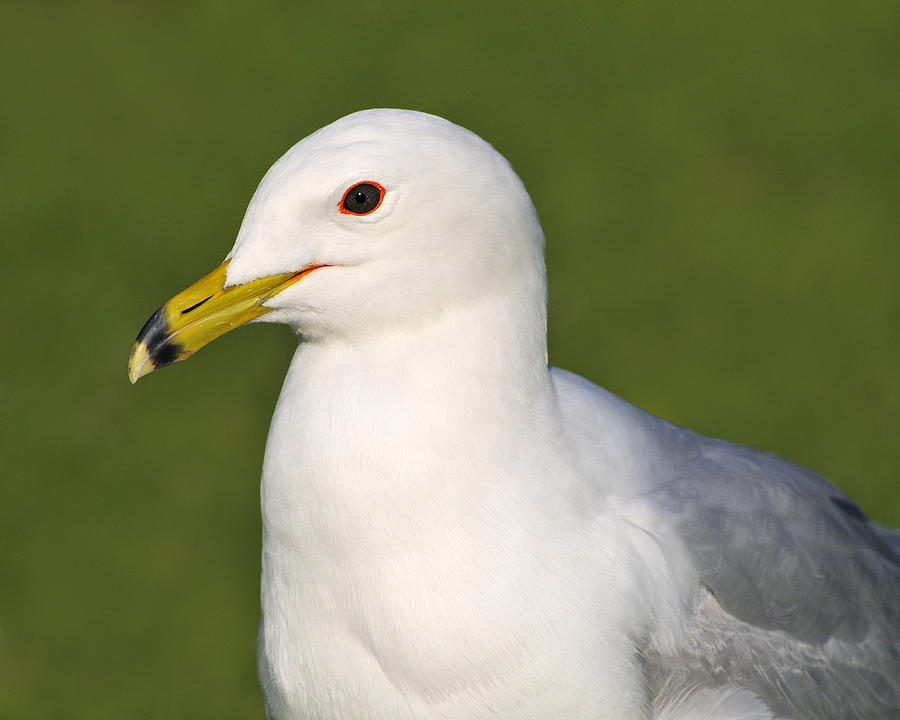 Ring-billed Gull Photograph - Dark-eyed Ring-billed by Tony Beck