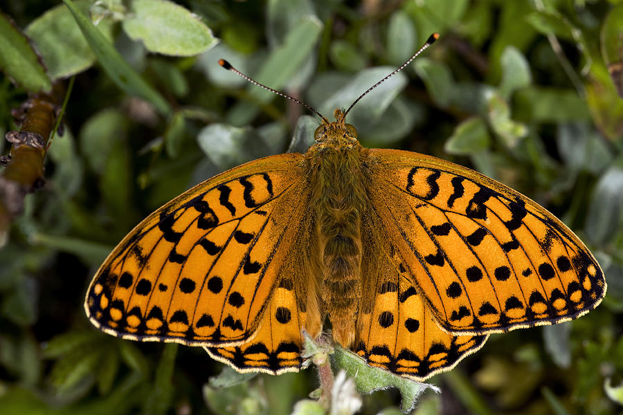 Insect Photograph - Dark Green Fritillary Butterfly by Dr Keith Wheeler