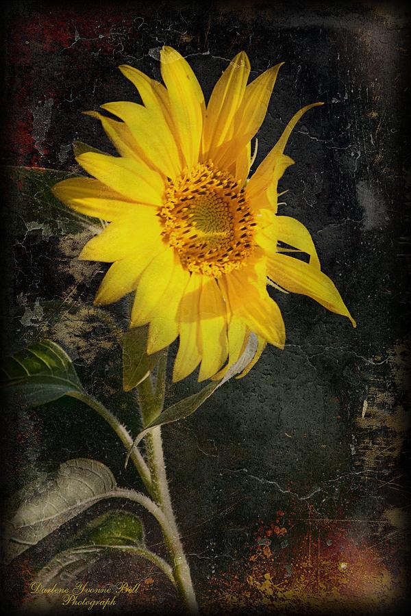 Flowers Photograph - Dark Sunflower by Darlene Bell