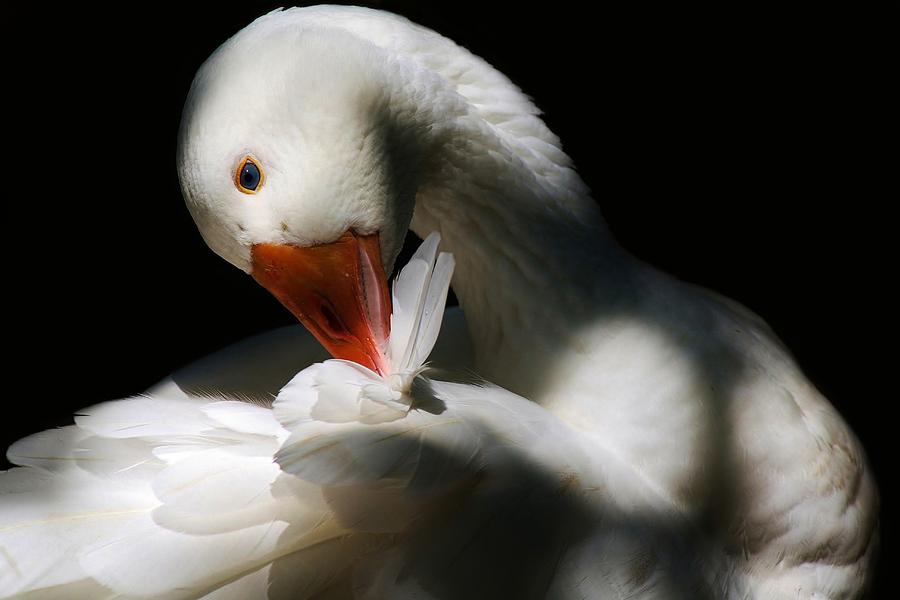 Duck Photograph - Darling Duck by Paulette Thomas