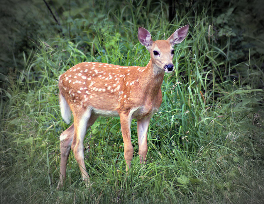 Deer Photograph - Darling Fawn by Marty Koch