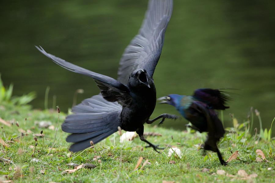 Bird Photograph - Davey And Goliath by Karol Livote
