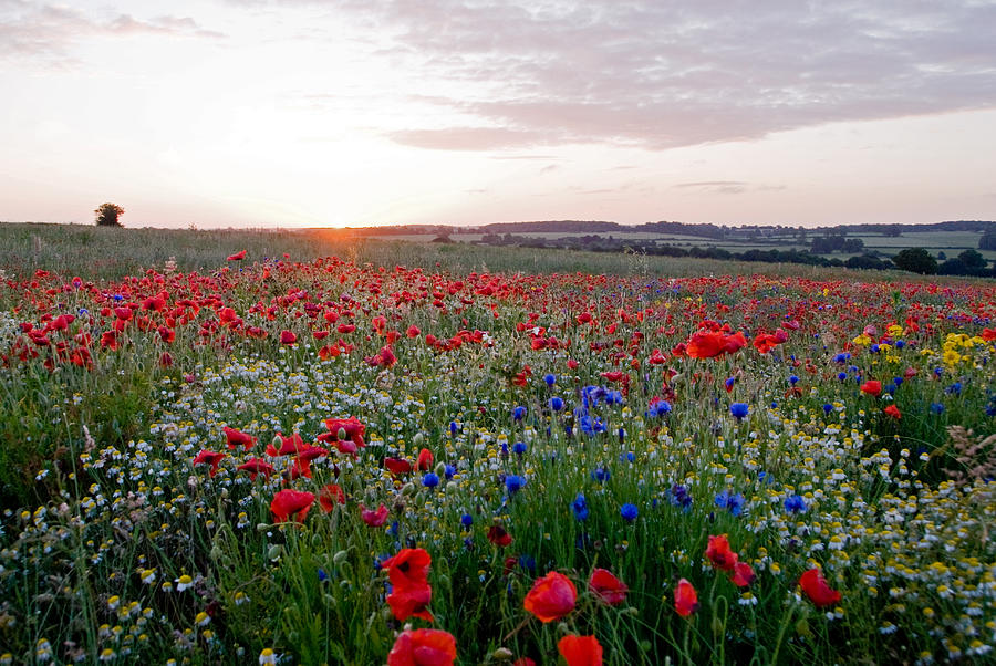 Poppy Photograph - Dawn Meadow by Rosie Herbert