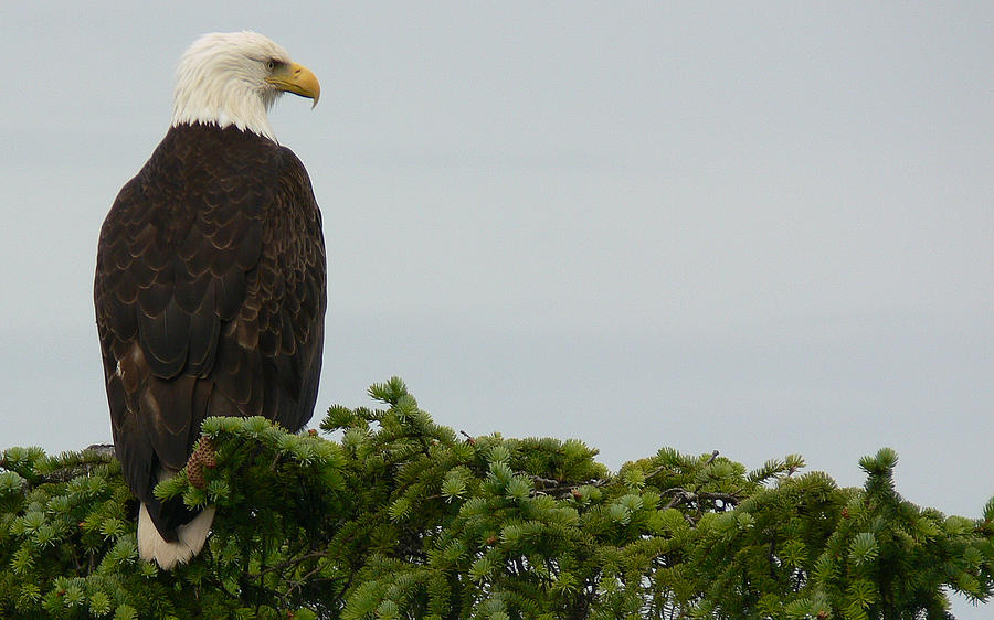 Eagle Photograph - Dawn Patrol by Susan Stephenson