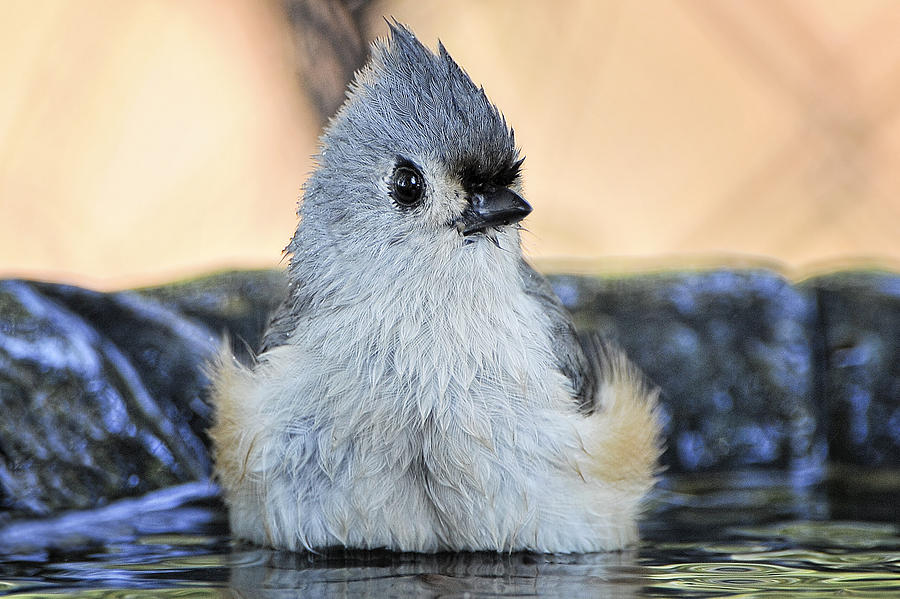 Tufted Titmouse Photograph - Day At The Spa by Bonnie Barry