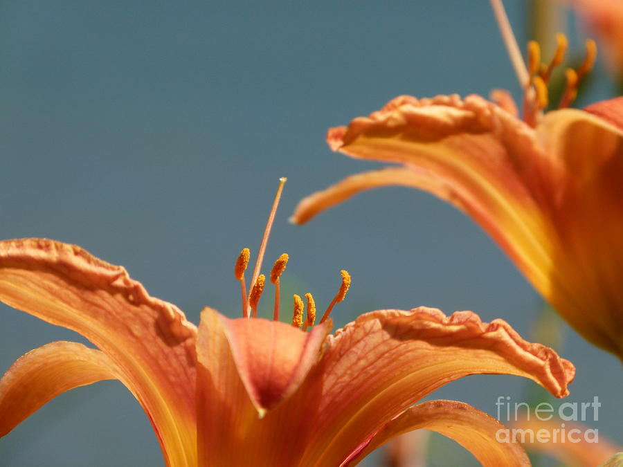Flower Photograph - Day Lilies by Christine Stack