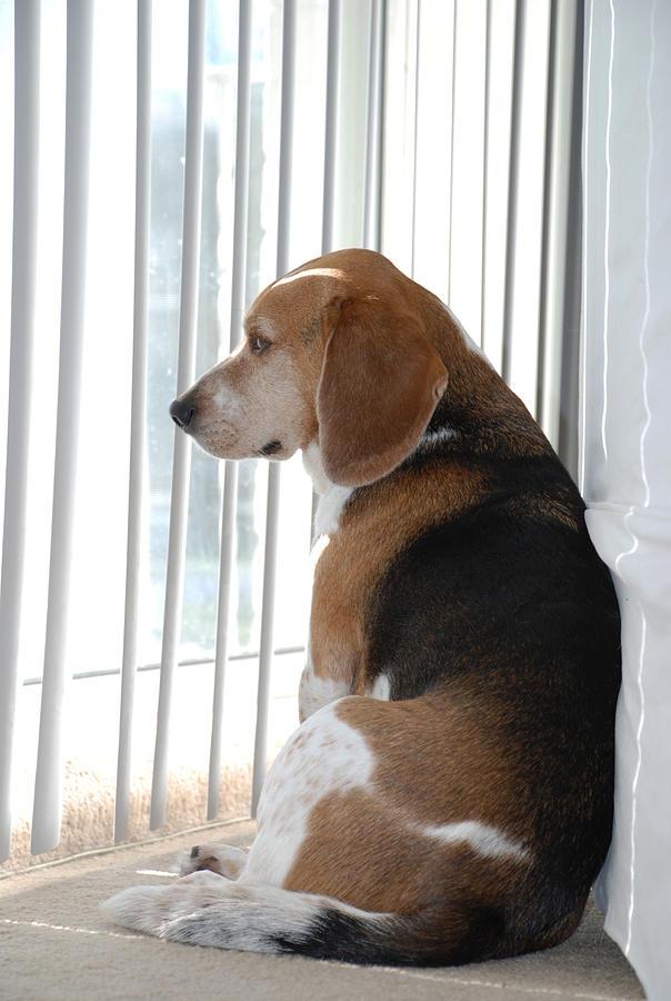 Beagle Photograph - Daydreaming by Jennifer Ancker