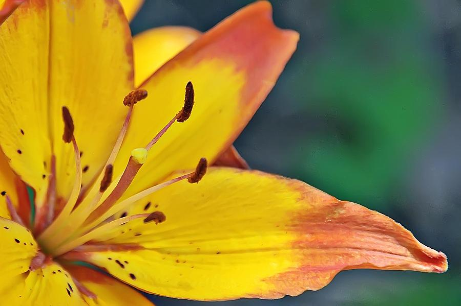 Flower Photograph - Daylily In Yellow by Tina Karle